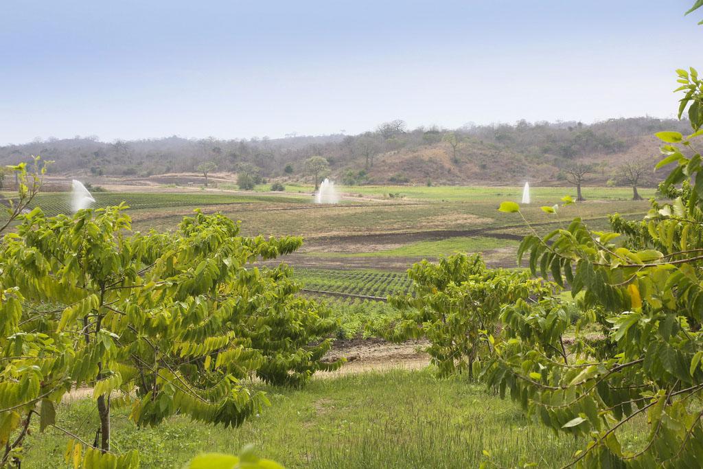 YL-ylang-ylang grove in ecuador
